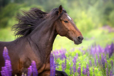 Bay  horse with long mane in lupine flowers run fast Stockfoto