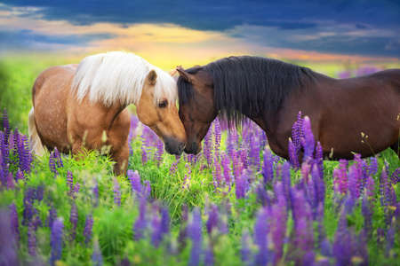 Palomino and bay horse with long mane in lupine flowers at sunset Stockfoto - 136169674