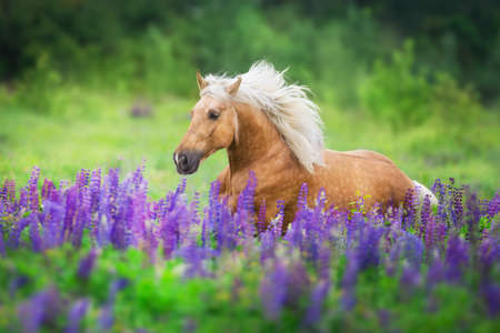 Palomino horse run with long mane in lupine flowers at sunset