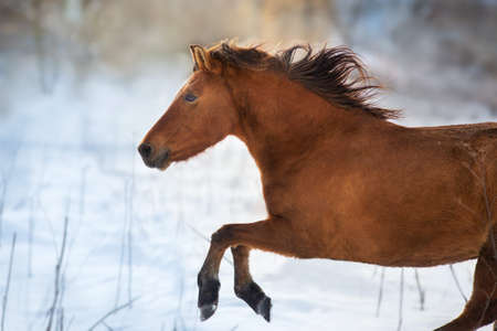 Bay horse with long mane free run in snow
