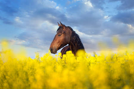 Bay horse with long mane on rape field Stockfoto