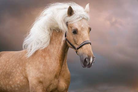 Palomino horse with long mane portrait in motion Stockfoto