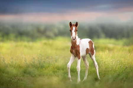 Pinto foal walk on meadow Stockfoto