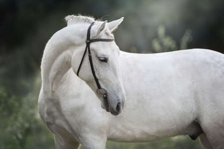 White horse in bridle outdoor