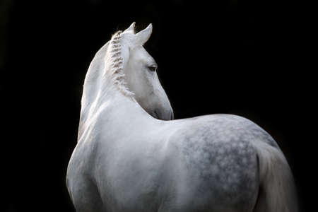 White Horse portrait  isolated on black background