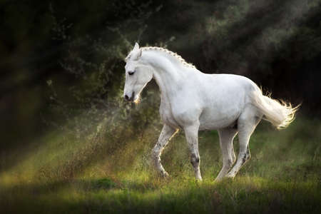 White horse make piaff on sunlight