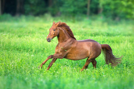 Red horse free run in spring green field Stockfoto