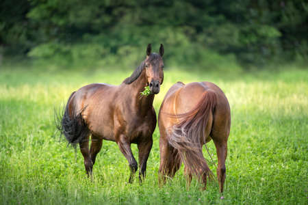 Horses grazing on pasture
