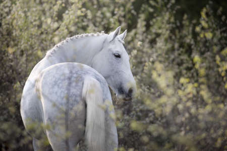 White horse portrait on spring blossom landscape Stockfoto