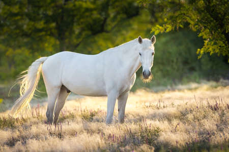 White stallion standing in stipa grass Stockfoto