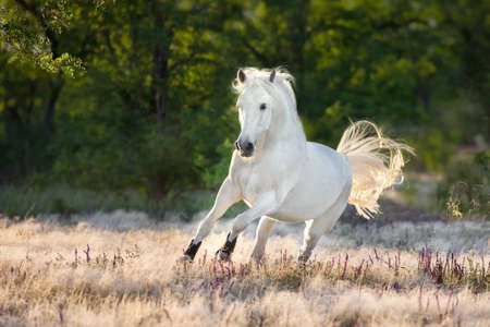 White beautiful horse free run in stipa grass