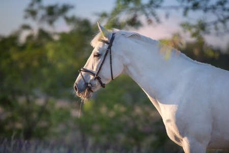 White horse in bridle portrait outdoor