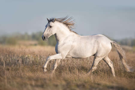 White lusitano horse run in autumn field