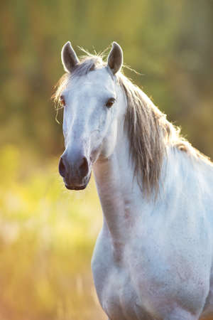 White horse portrait at sunset