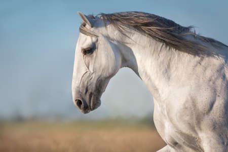 White horse with long mane portrait in motion Stockfoto