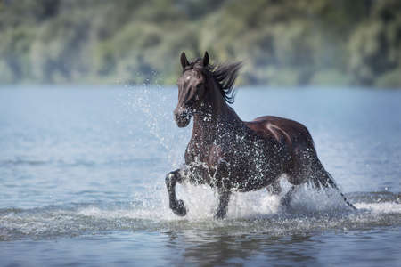Black beautiful stallion run gallop in water with splash