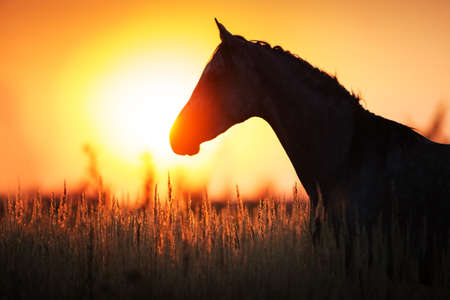 Grey stallion portrait at sunrise light