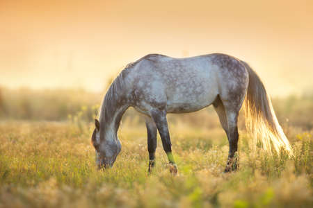 Horse grazing at sunlight Stockfoto