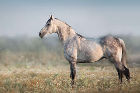 White arabian horse standing in morning pasture