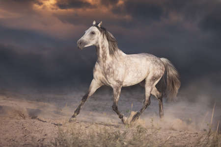 White arabian horse run in desert at sunset