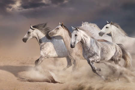 White  horse herd  galloping on sandy dust