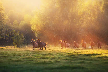 Horse herd galloping in sunlightwith dust at summer pasture Stockfoto