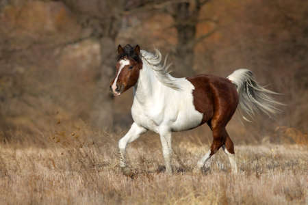 Piebald  horse run gallop on fall meadow