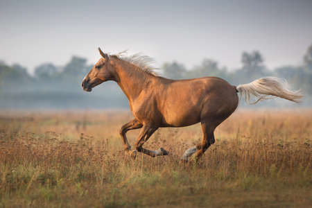 Palomino horse run gallop in morning fog Stockfoto