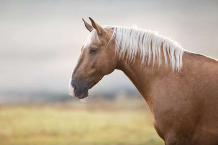 Palomino horse portrait in morning fog