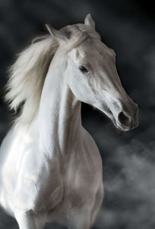 White horse portrait in motion isolated on black