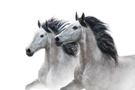 Two grey horse couple portrait on white. High key image Stockfoto