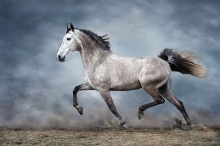 Grey horse run on sandy field against dramatic blue sky Stockfoto