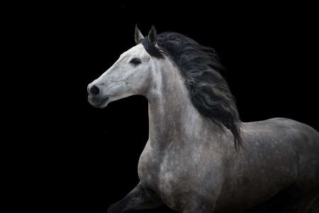 White horse on black in motion Stockfoto