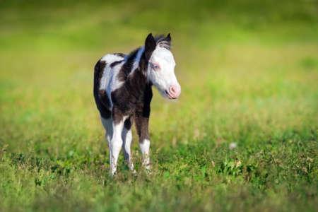 Beautiful piebald pony foal run fast in green pasture Imagens