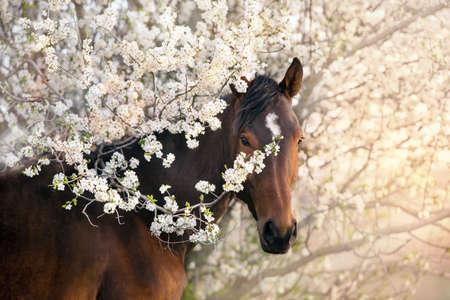 Bay stallion portrait on spring blossom tree