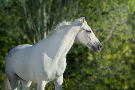 White horse portrait outdoor against green background