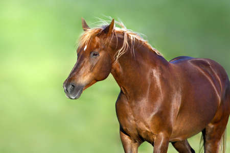 Red horse portrait on green background Imagens