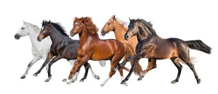 Horse herd fast run isolated