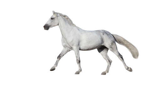 White Horse run gallop isolated on white backround Imagens