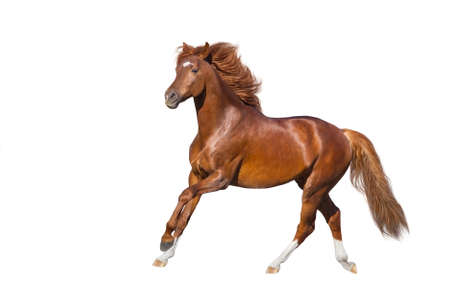 Red Horse run gallop isolated on white backround Imagens
