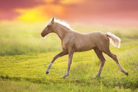 Cream horse in motion  at sunsey light
