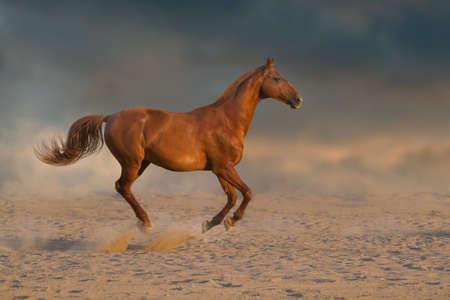 Red stallion with long mane run fast against dramatic sky in dust