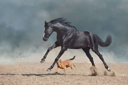 Beautiful black horse with long mane run and play with dog in desert dust Imagens
