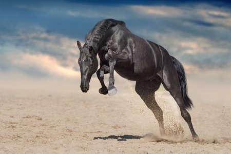 Black stallion run on desert dust against blue background Imagens