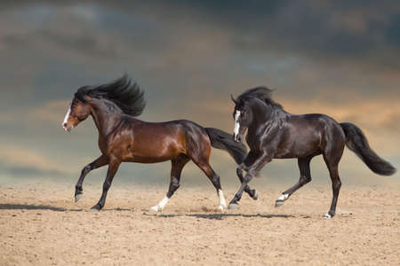 Two horse with long mane free run