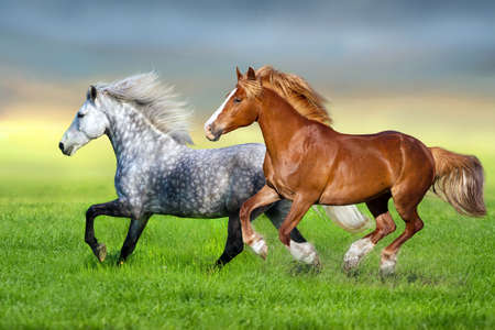Grey and red horse run gallop on spring green meadow