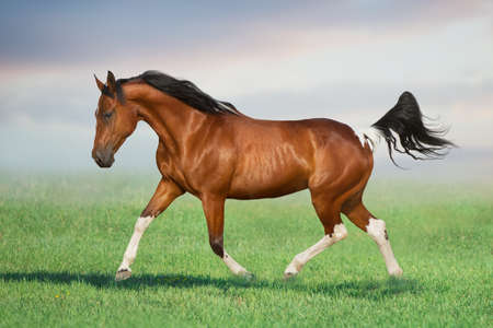 Bay pinto horse gallop on spring green meadow
