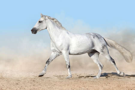 White horse free run gallop in sandy dust Imagens