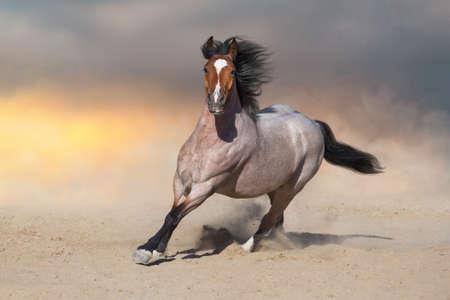Bay horse run on desert dust Imagens