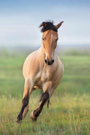 Buckskin Horse run gallop on spring green meadow Imagens